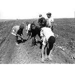 apd08. Child farm labour – picking potatoes